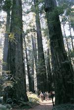 For hvor høje træer kan blive. målinger på verdens højeste træer