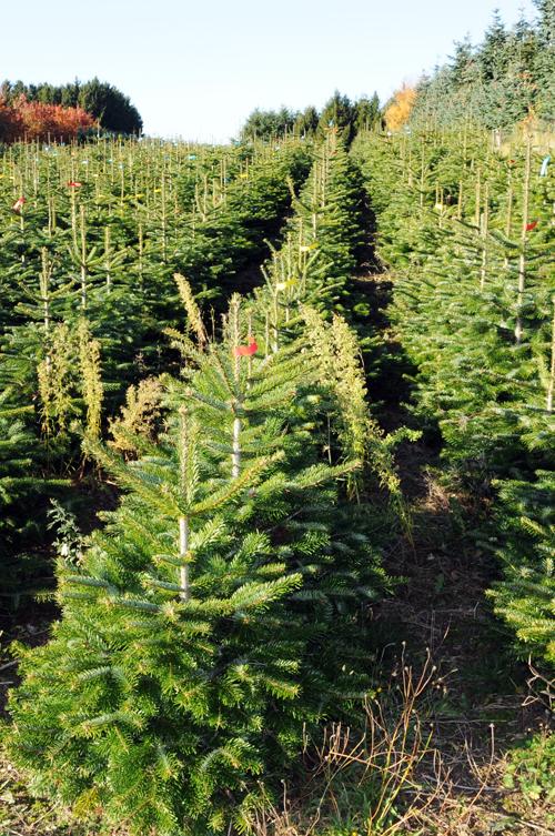 Dyrkning af juletræer