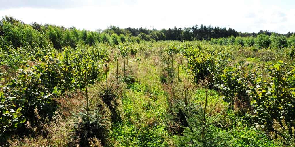 Der er nu politisk interesse for at plante store arealer med skov og i høj grad med hurtigtvoksende nåletræer.