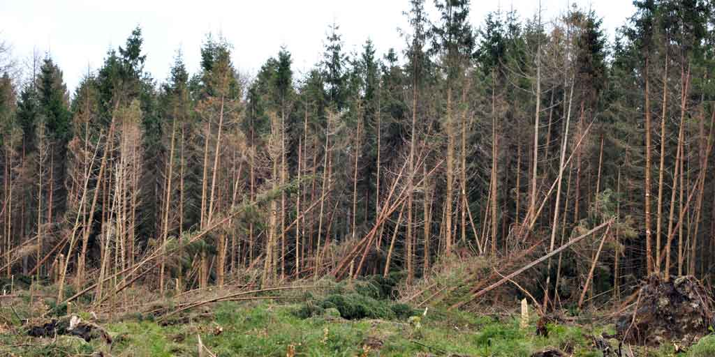 Stormfald i Klosterheden. Foto viser væltede træer på grund af stormfald.