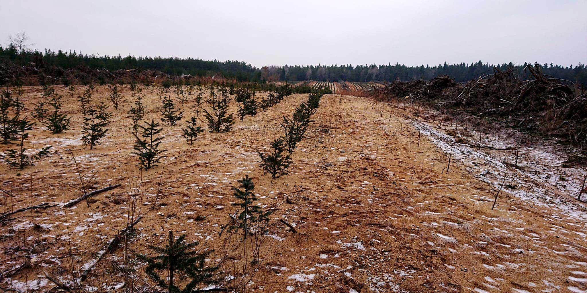 Ved at anvende ammetræer i kulturfasen kan de eksisterende skove optage langt mere CO2 fra atmosfæren.